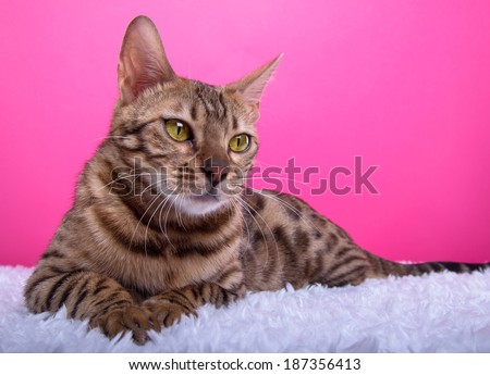 Beautiful bengalensis cat ifs isolated on a pink background. Colorful decorations. Animal portrait - stock photo