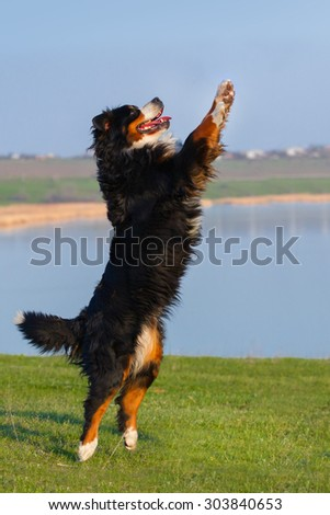 Beautiful bernese dog jump against blue river in the meadow - stock photo