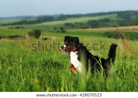 Beautiful Bernese mountain dog runs are fun in the summer outdoors on the field - stock photo