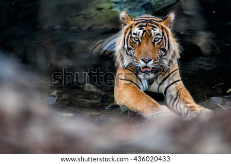 Beautiful big bengal tiger male in the watter/wild animal in the nature habitat/India - stock photo