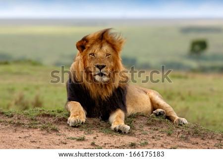 Beautiful big Lion Lipstick of 4 Km Coalition in Masai Mara, Kenya - stock photo