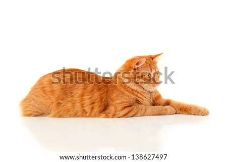 Beautiful big red cat lying and posing at studio, white background - stock photo
