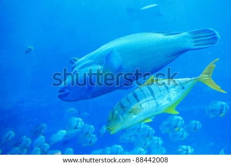 beautiful  big two tropical fish in the blue ocean - stock photo