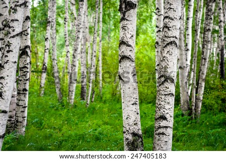 Beautiful birch grove on the banks of the river in the Russian Siberia - stock photo