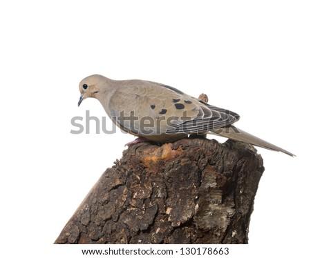 Beautiful bird - a   Mourning Dove (zenaida macroura) - stock photo