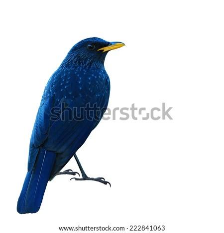 Beautiful bird,  Blue Whistling Thrush isolated on white background(Myiophoneus caeruleus) - stock photo
