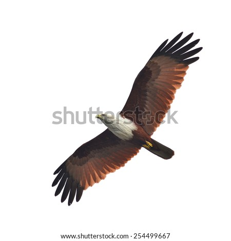 Beautiful bird, Brahminy Kite showing wing spread, white background - stock photo