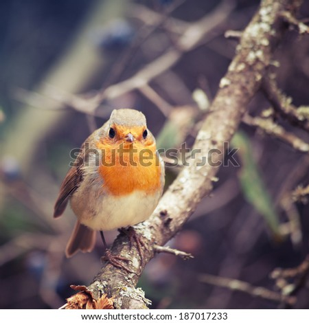 Beautiful bird European Robin (Erithacus rubecula) - stock photo