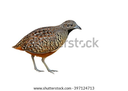 Beautiful bird, female Barred Buttonquail (Turnix suscitator), white background - stock photo