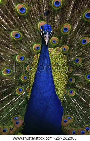 Beautiful bird male Indian peacock, Pavo cristatus, showing its feathers, with open tail - stock photo