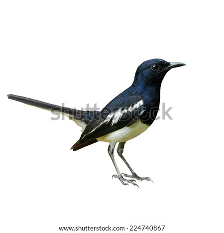 Beautiful bird, male Oriental Magpie-Robin, Magpie Robin isolated on white background (Copsychus saularis) - stock photo