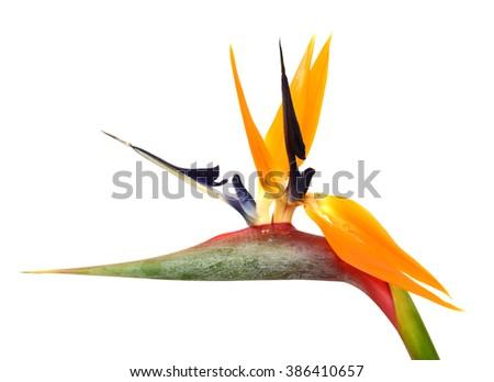 beautiful Bird of Paradise flower isolated in white background - stock photo