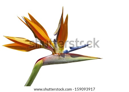 Beautiful Bird of Paradise flower, known as Strelitzia, isolated on white - stock photo