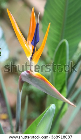 Beautiful Bird of Paradise flowers surrounded by green leaves - stock photo