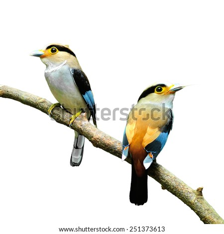 Beautiful bird, Silver-breasted Broadbill (Serilophus lunatus), back profile with the white background - stock photo