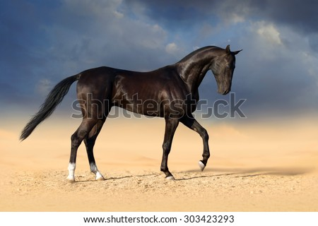 Beautiful black akhal-teke stallion horse in desert - stock photo