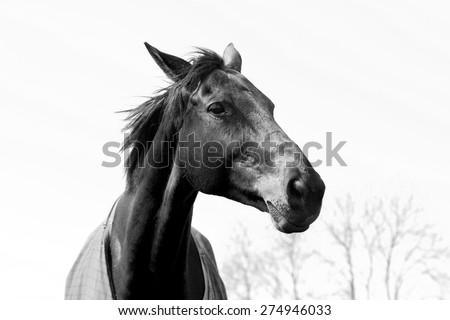 Beautiful black and white chestnut or light bay horse portrait showing head and neck and part of body. Elegant horse confidently making eye contact with one eye and his mane blowing in the wind.  - stock photo