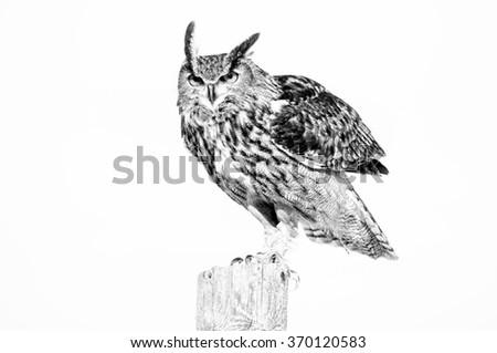beautiful black and white image of an eurasian eagle owl bird - stock photo