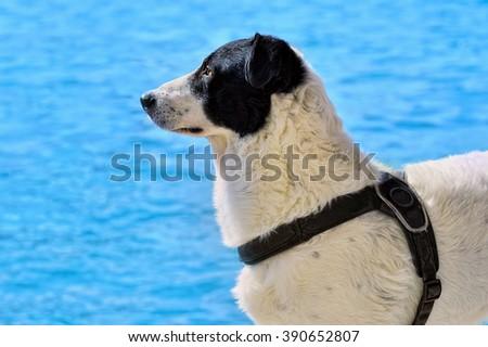 beautiful black and white Sheep dog - stock photo