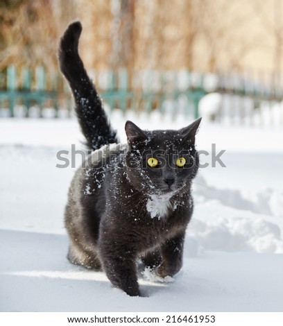 beautiful black cat walking in the snow  - stock photo