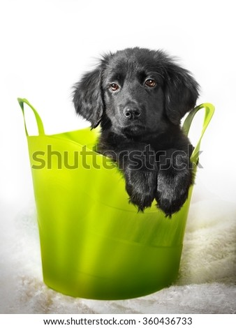 Beautiful black colored cute puppy HOVAWART on white background - stock photo
