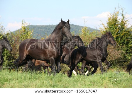 Friesian Horse Pictures Friesian Horses Running on