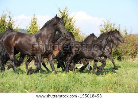 Beautiful black friesian horses running on pasturage - stock photo