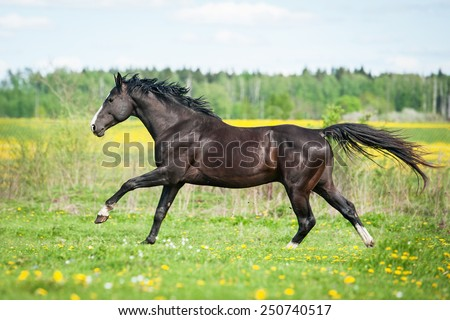 Beautiful black horse running on the pasture with flowers - stock photo