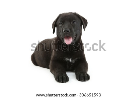 Beautiful black labrador puppy isolated on a white - stock photo