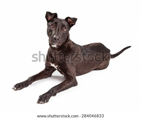 Beautiful black mixed large breed dog with a healthy and shiny black coat laying down on a white background and looking forward - stock photo