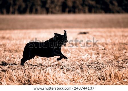 Beautiful black retriever / labrador - stock photo