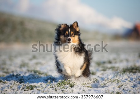 beautiful black sheltie dog - stock photo