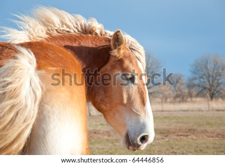 Beautiful blond Belgian Draft horse with his mane flying in the wind against stormy dark skies in winter - stock photo