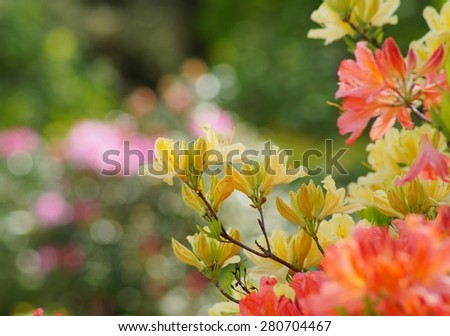 Beautiful blooming azaleas and rhododendrons in the garden - yellow and orange azalea - stock photo