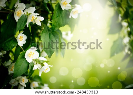 beautiful blooming branch of jasmine outdoors on a sunny day - stock photo