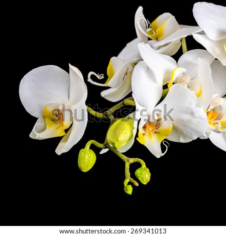 beautiful blooming branch white orchid with dew, phalaenopsis on a black background, closeup - stock photo