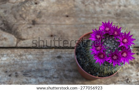 Beautiful blooming cactus on wooden background  - stock photo