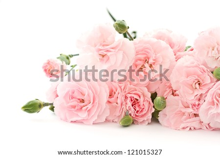 beautiful blooming carnation flowers on a white background - stock photo