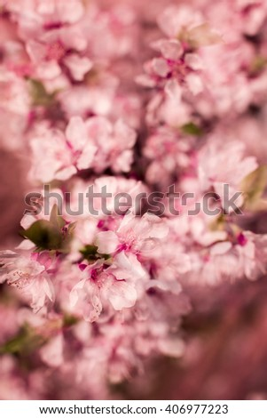 Beautiful blooming cherry tree. Blooming flowers ion a sunny  spring day. Multiexposure and selective focus macro. Toned image - stock photo