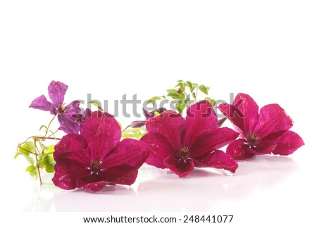 beautiful blooming clematis on a white background - stock photo