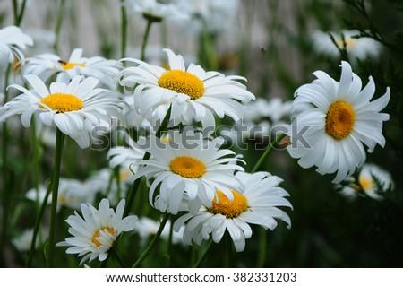Beautiful blooming daisy flowers - stock photo