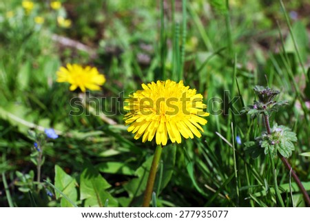 Beautiful blooming dandelion close up - stock photo