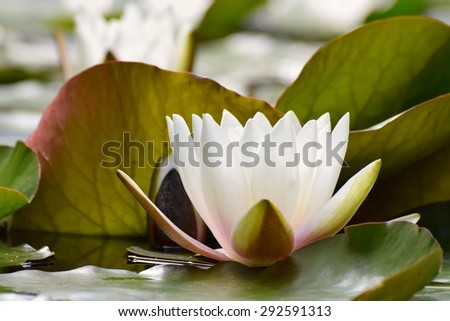 Beautiful blooming flower - white water lily on a pond. (Nymphaea alba) Natural colored blurred background. - stock photo