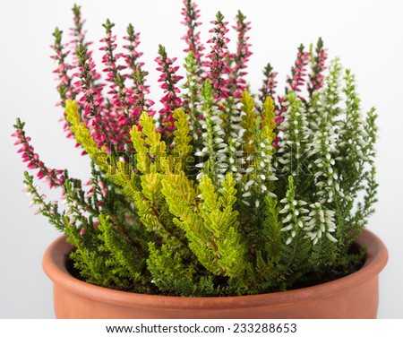 Beautiful blooming flowers in a brown pot - stock photo