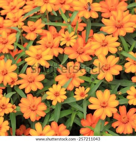 Beautiful blooming flowers orange color - stock photo