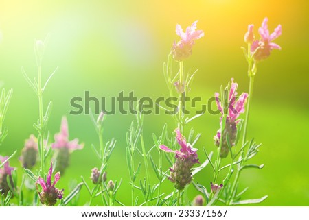 Beautiful blooming french lavender in the late summer sun - stock photo