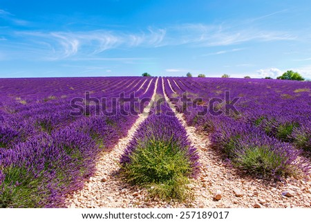Beautiful blooming lavender fields near Valensole in Provence, France. Rows of purple flowers. Famous, popular destination and place for tourists for making vacations in summer. - stock photo