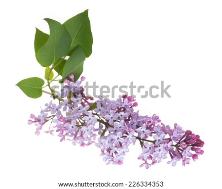 Beautiful blooming lilac branch on white background - stock photo