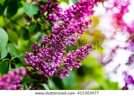 Beautiful blooming lilac flowers in spring. Nature composition. - stock photo