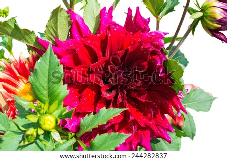 beautiful blooming petals dahlia macro of raindrops, closeup, isolated on white background  - stock photo